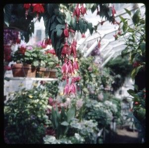 Mrs. Boydens greenhouse 1964-1965 29