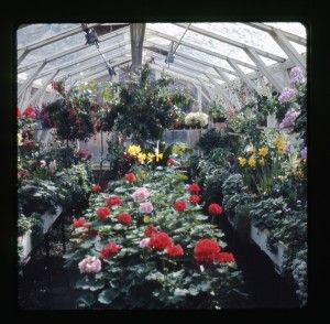 Mrs. Boydens greenhouse 2 1964-1965 25